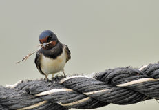 Barn swallow with twig. Barn swallow perched on a rope with a twig in is beak.  Species:  Hirundo rustica Stock Photo