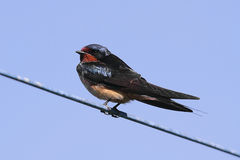 Barn Swallow on a wire Stock Photo