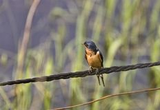 Barn Swallow on Wire stock image