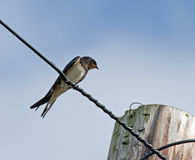 Barn Swallow on Wire Royalty Free Stock Photography
