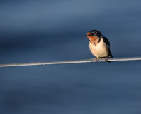 Barn Swallow on a wire Royalty Free Stock Image