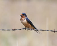 Barn Swallow on wire Royalty Free Stock Images