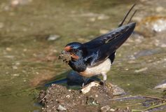 Barn swallow (Hirundo rustica) gathering mud for the nest Royalty Free Stock Photography
