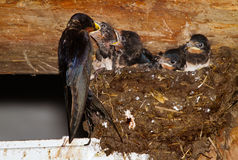 Barn swallow and young Royalty Free Stock Images