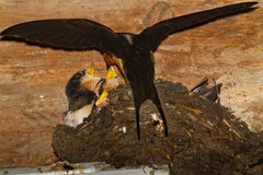 Barn swallow and young Stock Photography
