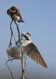 Barn Swallows Stock Photos