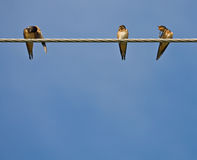 Barn Swallows. Three Barn Swallows (Hirundo rustica) sitting on a wire royalty free stock photography