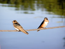 Barn Swallows. A pair of barn swallows perched on a wire cable royalty free stock images
