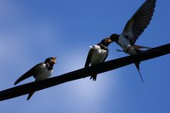 Barn swallows Stock Images