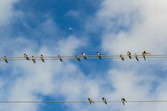 Barn Swallows. Hirundo rustica perching on wire with blue sky and white clouds in the background royalty free stock photo
