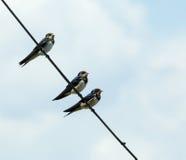 Barn Swallows Stock Photos