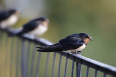 Barn Swallows (Hirundo rustica) Stock Photography
