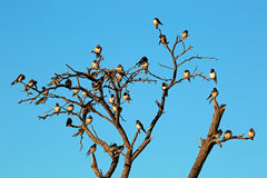 Barn swallows. (Hirundo rustica) perched on a dead tree, South Africa stock image
