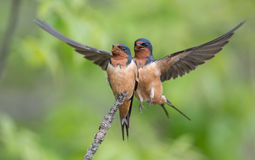 Barn Swallows Stock Photography