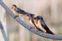 Barn Swallows on Rope. Photograph of a small group of Barn Swallows perched side by side on a rope along a wetland boardwalk royalty free stock photo
