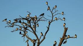 Barn swallows stock video