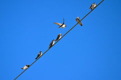 Barn Swallows on a wire Stock Photography