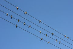 Barn swallows on the wires Stock Images