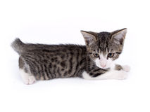Barn tio veckor gammal kattunge Royaltyfria Bilder