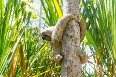 Barn 3 Toed sengångare i dess naturliga livsmiljö Amazon River Peru Royaltyfria Foton