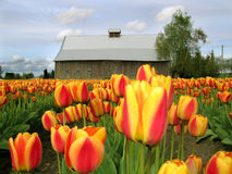 Barn Tulips Royalty Free Stock Photos