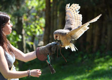 Barn - Tyto alba - owl landing on falconers hand Stock Photo