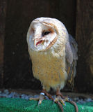 Barn - Tyto alba - owl posing Stock Photos