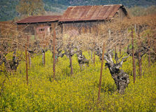 Barn and Vines, Napa Valley, California Royalty Free Stock Image