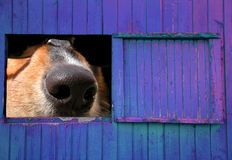 Barn Window View. Surreal photo montage of a dog peeking through a barn window Royalty Free Stock Photos