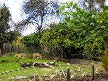 Barnaby Sheep en Adelaide Zoo foto de archivo libre de regalías