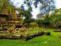 Barnaby Sheep Enjoy Natural Surroundings en Adelaide Zoo imágenes de archivo libres de regalías