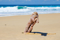 Barnacle covered wood on beach in Australia Stock Images