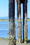 Barnacle covered wood piers. Wood piers covered in barnacles Stock Image
