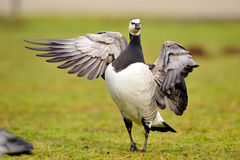 Barnacle Goose (Branta leucopsis). Barnacle Geese (Branta leucopsis) breed mainly on the Arctic islands of the North Atlantic. Small numbers Stock Photos