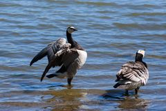 The barnacle geese at lake. stock images