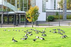 Barnacle Geese Branta leucopsis near office center stock image