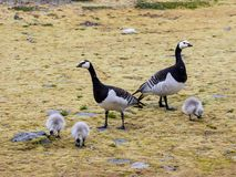 Barnacle geese with chicks - Arctic, Spitsbergen Stock Image