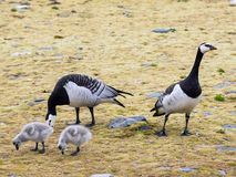 Barnacle geese with chicks - Arctic, Spitsbergen Stock Photography