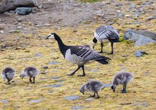 Barnacle geese with chicks - Arctic, Spitsbergen Stock Photos