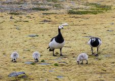 Barnacle geese with chicks - Arctic, Spitsbergen Royalty Free Stock Photos