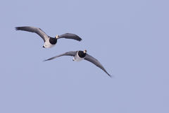 Barnacle Geese in flight Stock Photography