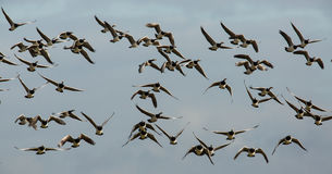Barnacle Geese in flight Stock Images
