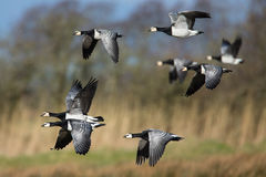 Barnacle Geese in Flight Stock Image