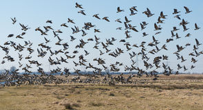 Barnacle geese flying away in a Dutch polder landscape royalty free stock photo