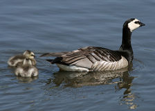 Barnacle Geese and goslings 2 Royalty Free Stock Photos