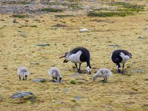 Barnacle geese with goslings - Arctic, Spitsbergen Royalty Free Stock Images