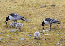 Barnacle geese with goslings - Arctic, Spitsbergen Stock Images