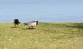 Barnacle geese grazing on grass royalty free stock photos
