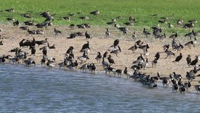 Barnacle geese and great cormorants along lakeside, Holland stock video