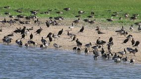 Barnacle geese, greylag geese and great cormorants, Holland stock video